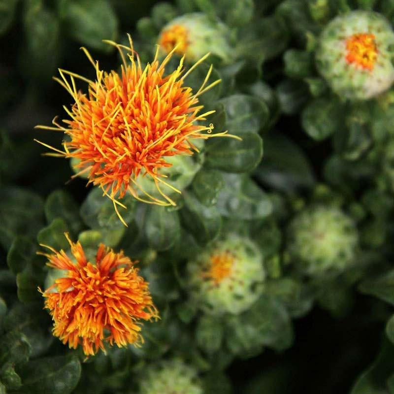 بذر کافشه