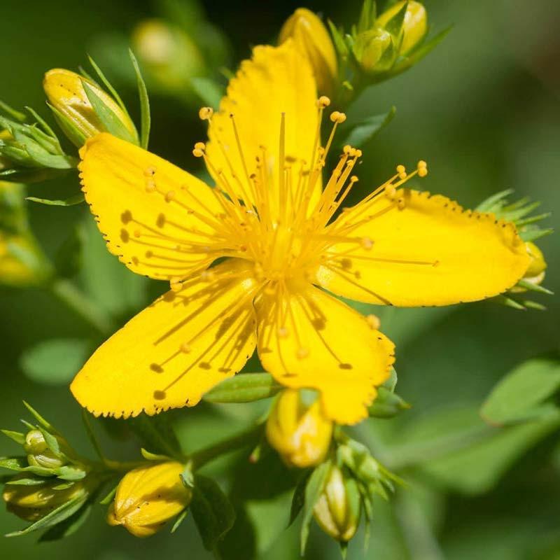 گل راعی - هوفاریقون