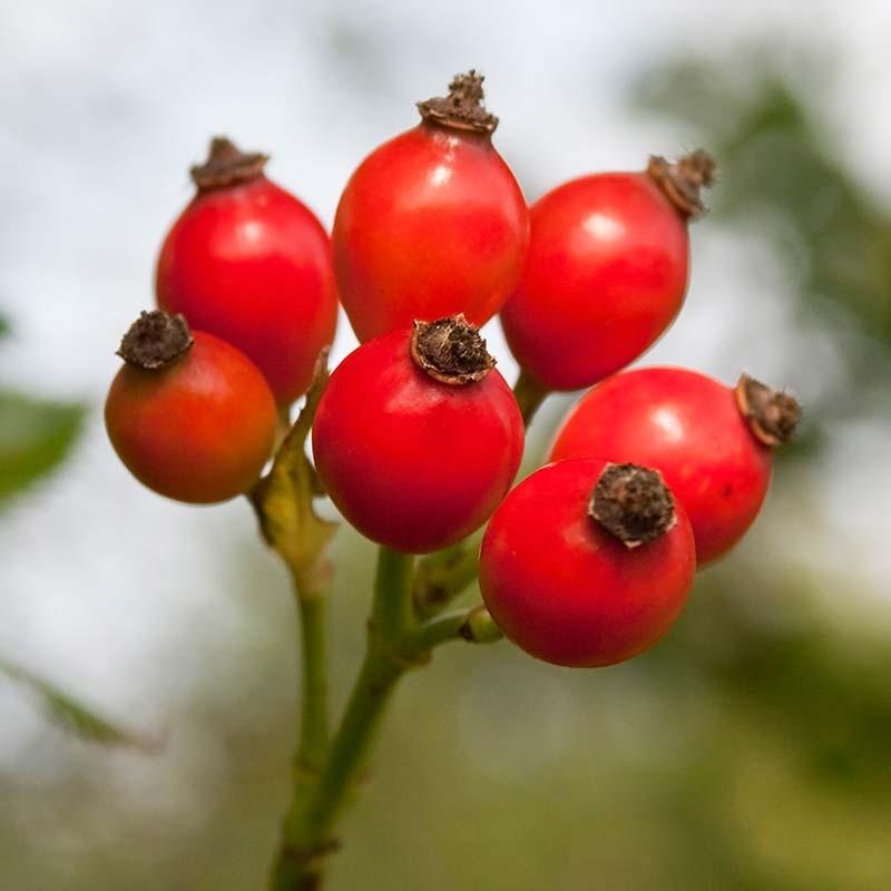 میوه نسترن
